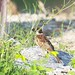 tree sparrow ... hiding away.. by Tokki,an idiot w/cameras & birds. 4million views