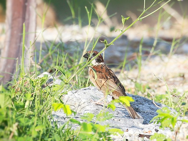 tree sparrow ... hiding away..