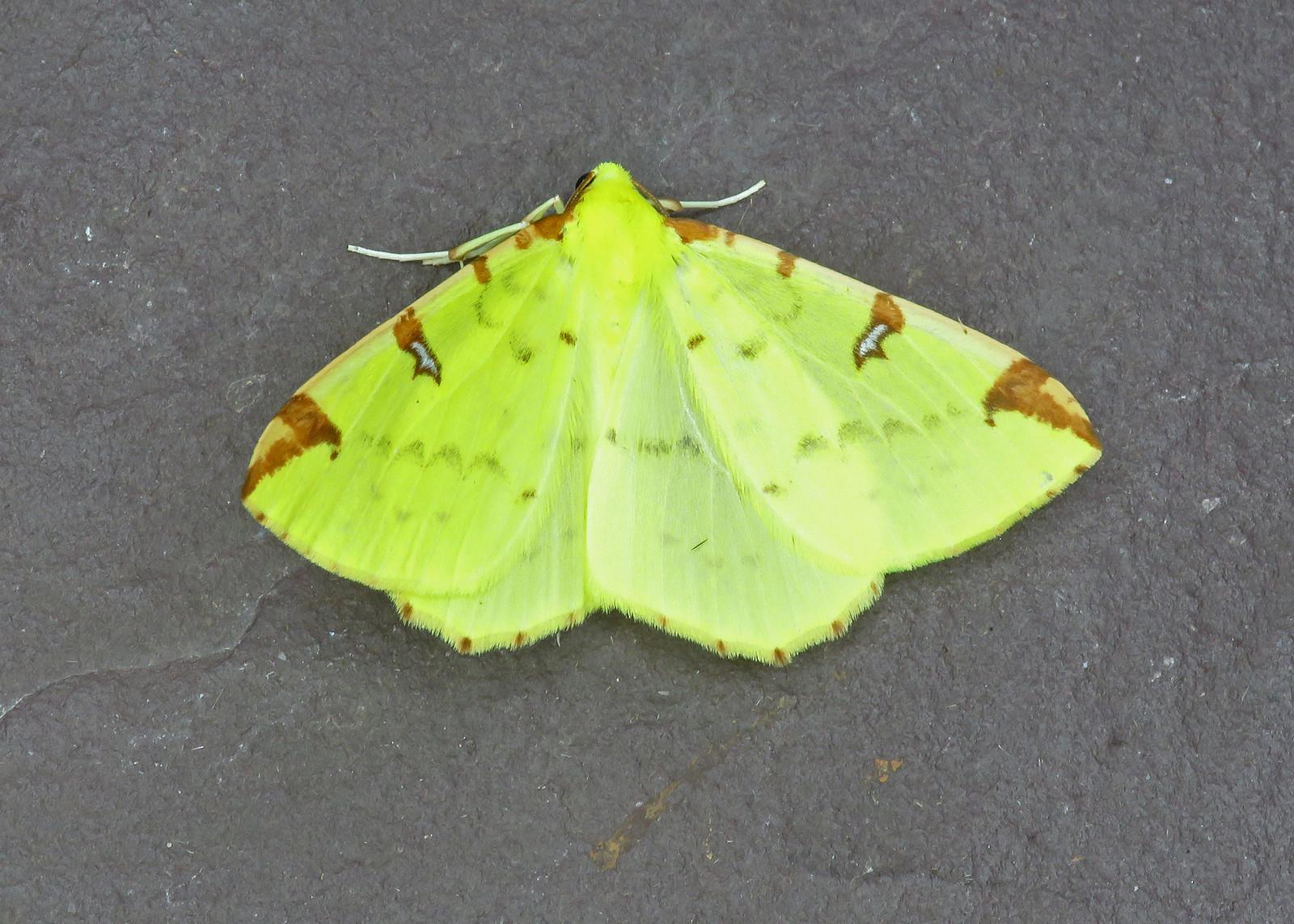 70.226 Brimstone Moth - Opisthograptis luteolata