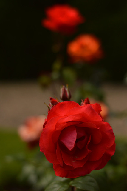 I Didn't Promise You A Rose Garden - But Here's One Anyway ...