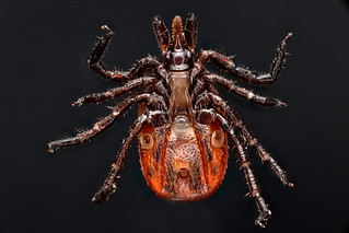 Ixodes scapularis (Deer Tick) | by Macroscopic Solutions
