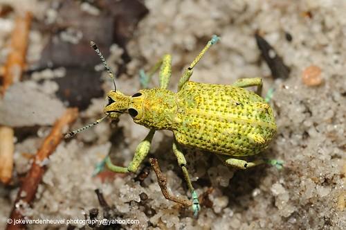 Golden weevil Rhigus speciosus (?) | by jokevandenheuvel.photography