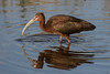 White-faced Ibis (Plegadis chihi) by Ron Winkler nature