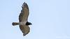 Black Chested Snake Eagle by Steinar Eilerås