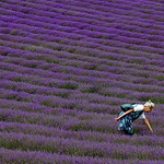 Old English Lavender