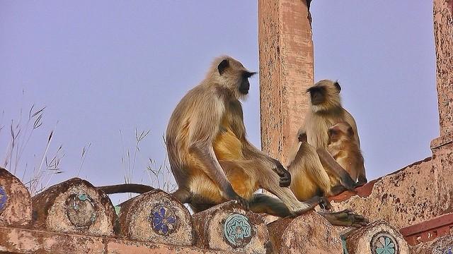 INDIEN, india - historisches Orchha, Hanuman-Languren beherrschen den alten Palast, 14122/6988