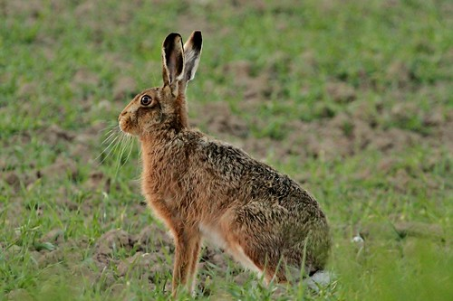 Hare | by Jo Reeve