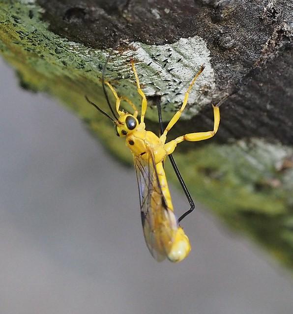 Yellow Parasitic Wasp Laying Eggs