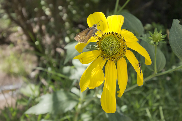 Rudbeckia laciniata, Santa Fe National Forest, Sandoval County, New Mexico