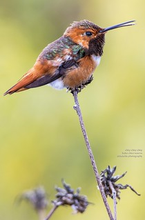 Chirp Chirp Chirp | by Air Butchie Photography