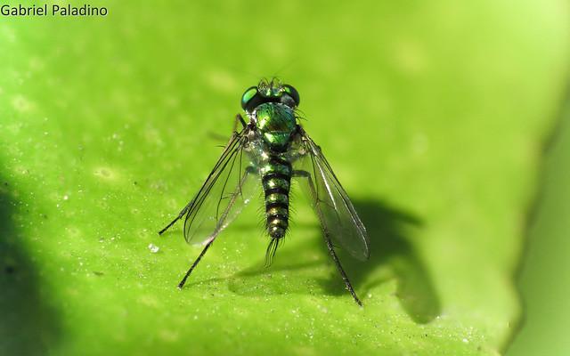 Condylostylus sp. (Moscas de piernas largas)