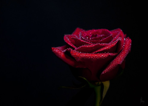 Blood Red Rose | by Jackx001