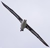 Laysan albatross (Phoebastria immutabilis) by Simon Valdez-Juarez