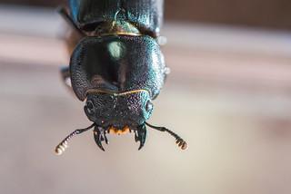 [台北 寵物攝影] 台灣扁鍬形蟲 | by cold0328