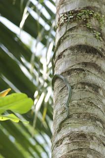 Paradise Tree Snake A K A Paradise Flying Snake Chrysope Flickr