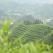 Wei Shan Huang Cha's Tea Garden