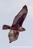 Ferruginous Hawk (Buteo regalis), intermediate adult DSC_7380 by fotosynthesys