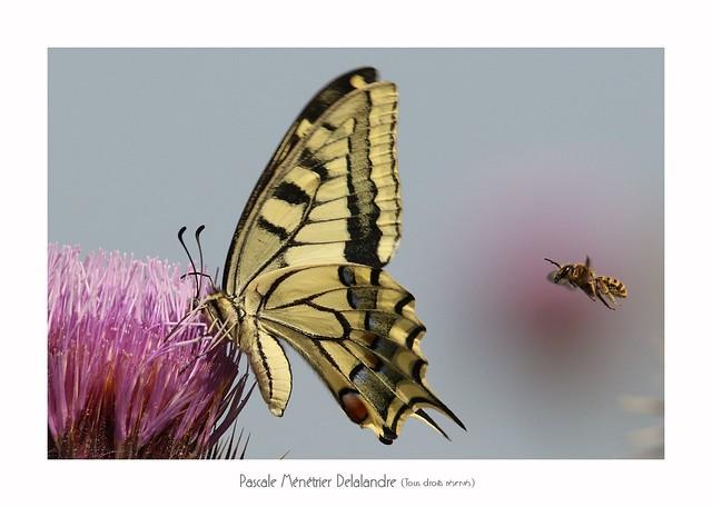 Machaon ou Grand porte-queue (Papilio machaon) et Abeille solitaire