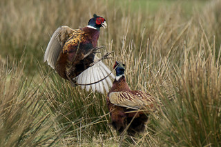 Male Pheasants sparring - Phasianus colchicus | by MikeHawkwind