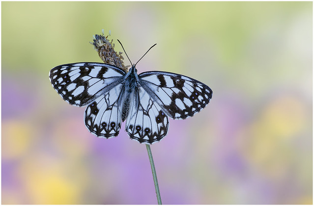 Spanish Marbled White - Melanargia Ines