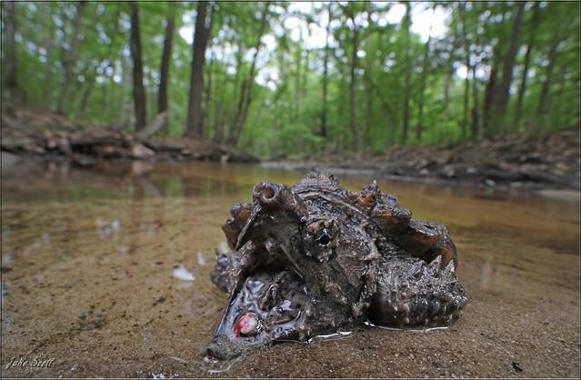 Suwannee Alligator Snapping Turtle (Macrochelys suwanniensis)