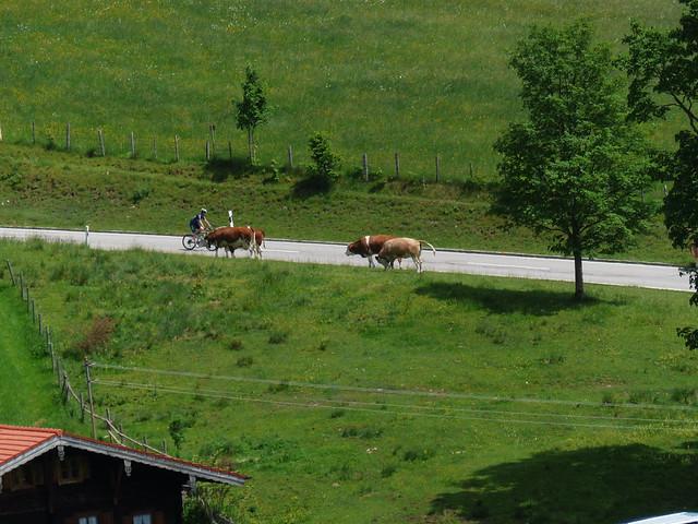Rinder freilaufend 002