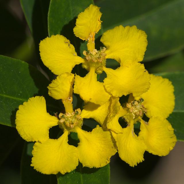 Yellow orchid vine at Tohono Chul Park