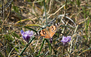 Painted lady butterfly, m339 | by danlmarmot