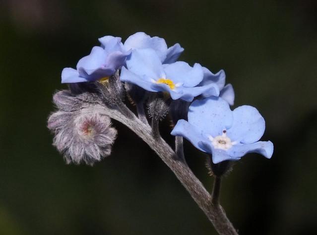 Wood forget-me-not (Myosotis sylvatica) flowers