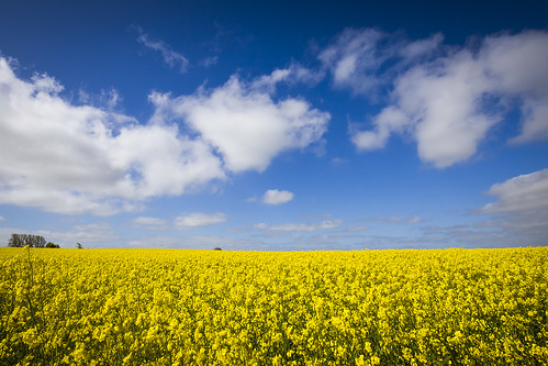 flowers blue sky field yellow clouds landscape countryside sweden farming agriculture rapeseed