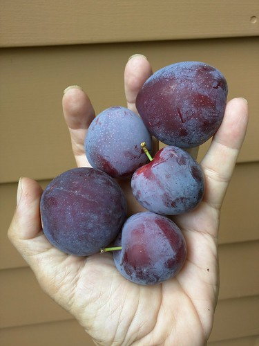Plum Harvest From Lydecker Black Ice Tree That We Planted