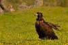 Buitre negro,Black vultureAegypius monachus by Manuel G.S.
