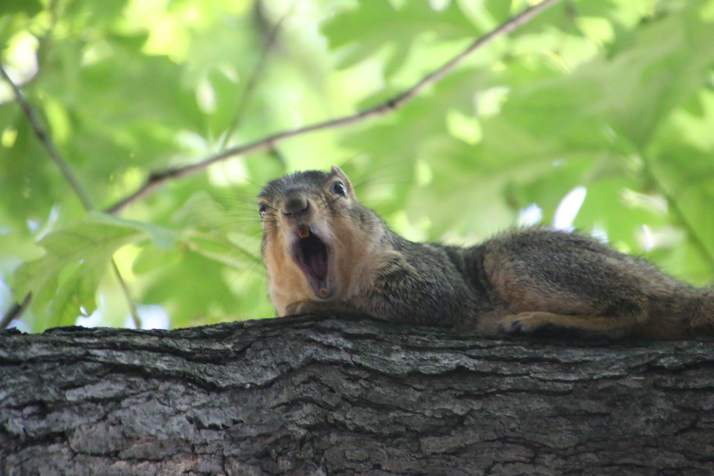 41/365/2963 (July 22, 2016) - Squirrels on a Hot Day in Ann Arbor at the University of Michigan (July 22, 2016)