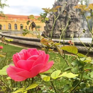 #erlangen #germany #deutschland #bavaria #bayern #rose #flower #autumn #herbst #garten #garden   by stacy2005ua