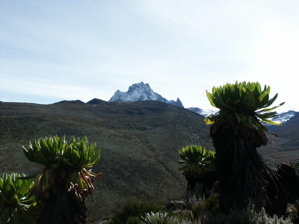 Giant groundsel in the Teleki Valley frame Mount Kenya behind.