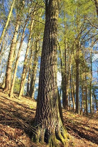 trees nature forest spring hiking pennsylvania bark creativecommons trunk ravine slope coniferous whitepines hemlocks oldgrowthforest pinusstrobus columbiacounty tsugacanadensis easternhemlocks weiserstateforest easternwhitepines relictforest jakeyhollownaturalarea
