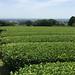 sakimidori jardin