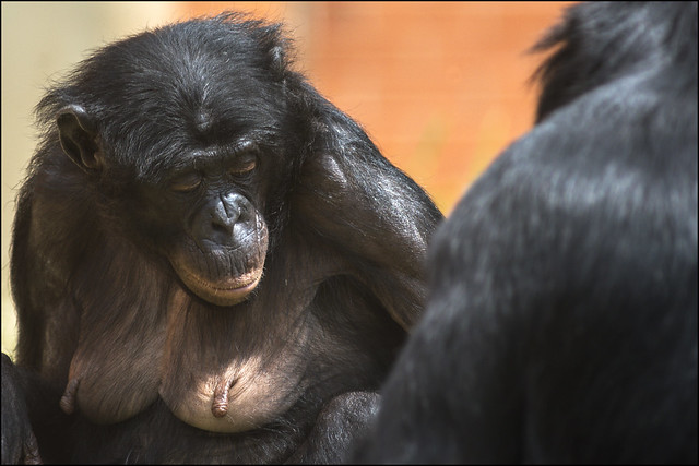 Bonobo 4