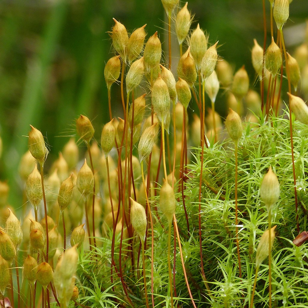 Polytrichum Commune Moss