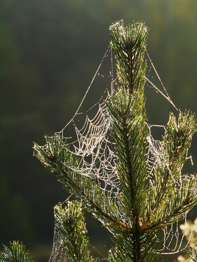 Spiders Webs On Pine Piktezeris Lake Zemaitija National Flickr