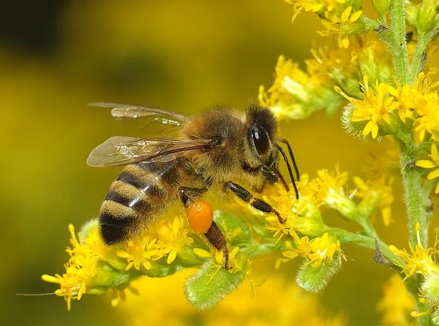 Beautiful Honey Bee with Orange Pollen Sacs on It's Rear Legs Feeding on Goldenrod Flowers  DSCF5202