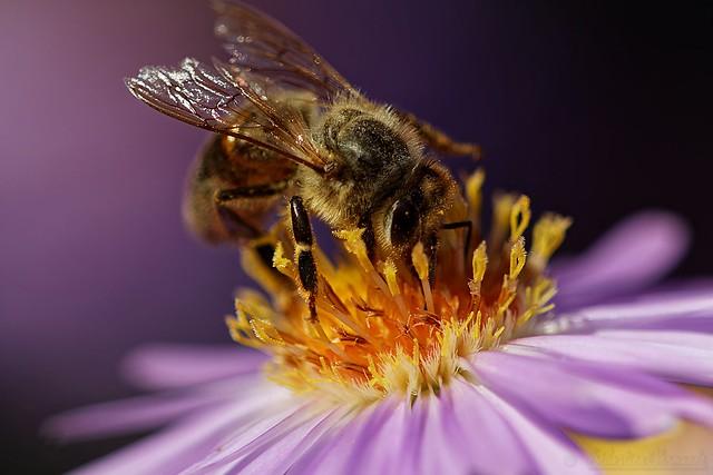 Bee on Aster - Abeille sur Aster