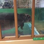 2014年秋の旭山動物園 #カバ #かば #Hippo #Hippopotamus #하마 #河马 #Hokkaido #北海道 #Asahikawa #旭川 #AsahiyamaZoo #旭山動物園 #Japan #zoo #動物園 #동물원 #动物园
