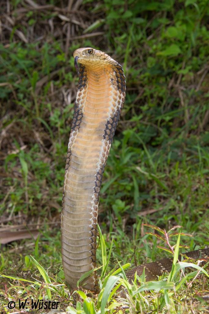 Ophiophagus hannah (King cobra) | Aizawl District, Mizoram