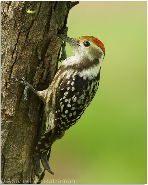 Yellow Crowned Woodpecker