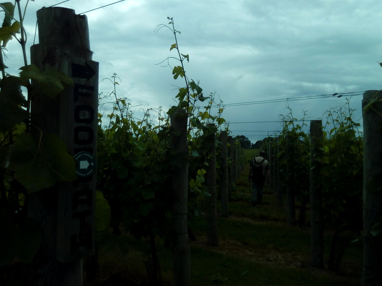 Tiptoe through the tulips ... err I meant vines Redfold Vineyards have kindly signposted the right of way through their vineyard and created a clearly discernable footpath for walkers to follow. Much appreciated by the Saturday Walking Club