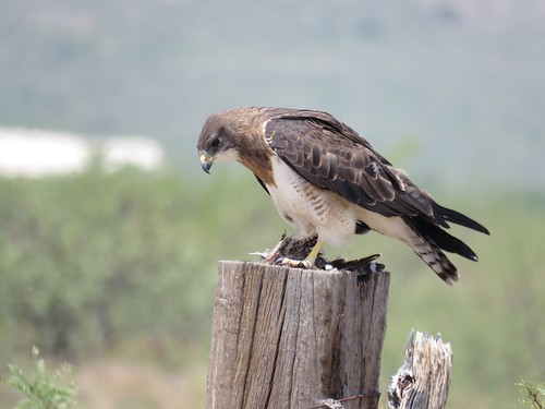 Swainson's Hawk eating Greater Roadrunner | by Justin Lee (NoNameKey)