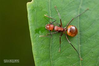 Ant (Polyrhachis cf. thrinax) - DSC_9032