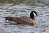 Cackling Goose (Branta hutchinsii) by DragonSpeed