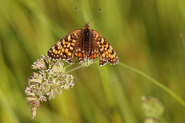 Nymphalidae Melitaea - Mélitée